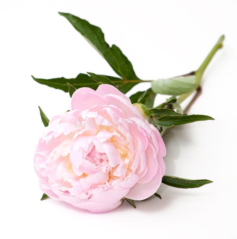 Free Pink Peony Flower Royalty Free Stock Image - 19664696