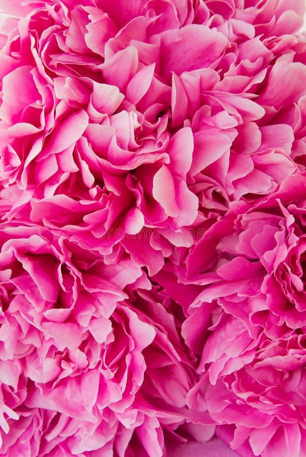 Free Pink Peony Flower Stock Photo - 57332030