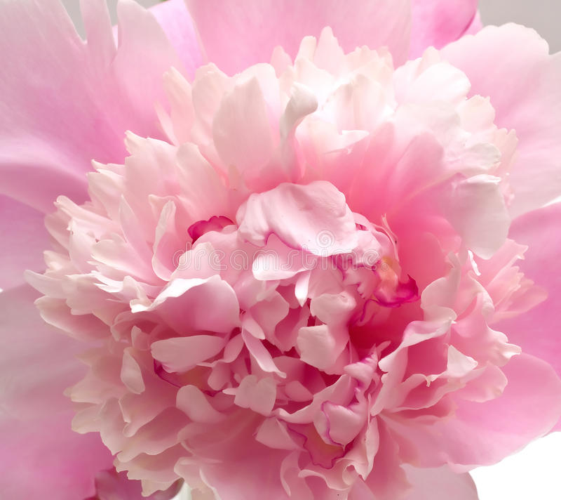 Free Pink Peony Flower Background Royalty Free Stock Image - 9767126