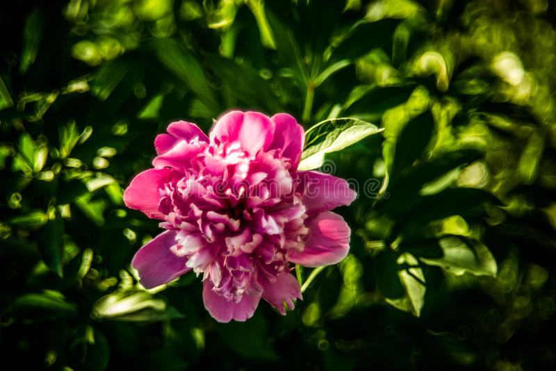 Pink peony flower. And beautiful bokeh of green leaves stock image