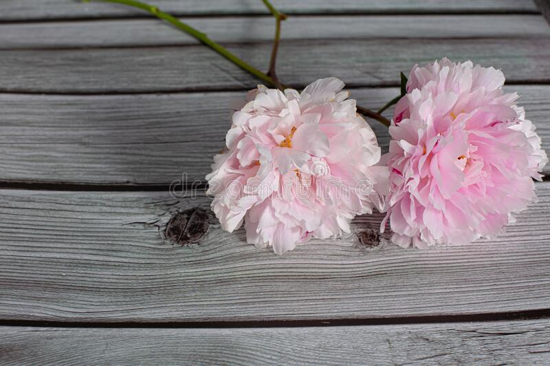 Pink peony flower in bloom with many petals close up still isolated on a grey wooden backgroundPink peony flower in bloom with man royalty free stock image