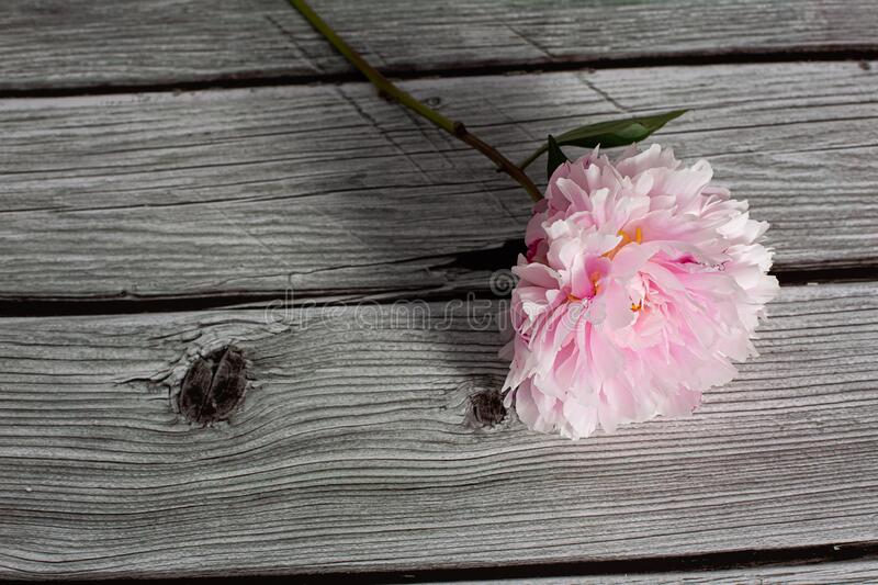 Pink peony flower in bloom with many petals close up still isolated on a grey wooden background stock image