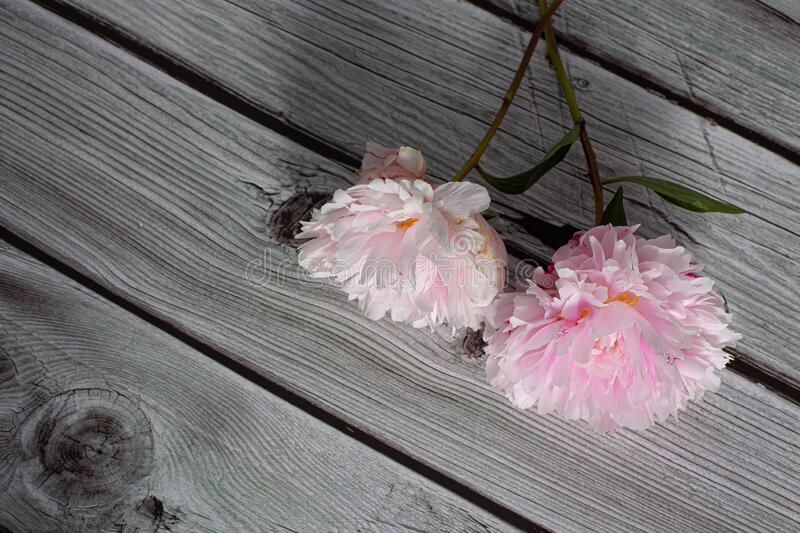 Pink peony flower in bloom with many petals close up still isolated on a grey wooden backgroundPink peony flower in bloom with man stock photo