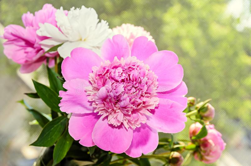 Pink peony flower with bud, bokeh blur background, genus Paeonia, family Paeoniaceae.  royalty free stock photos