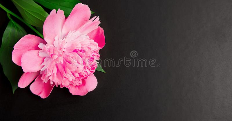 Pink peony flower close up on black background. Panoramic Floral background with copy space. Pink peony flower close up on black background. Blackboard with royalty free stock photos
