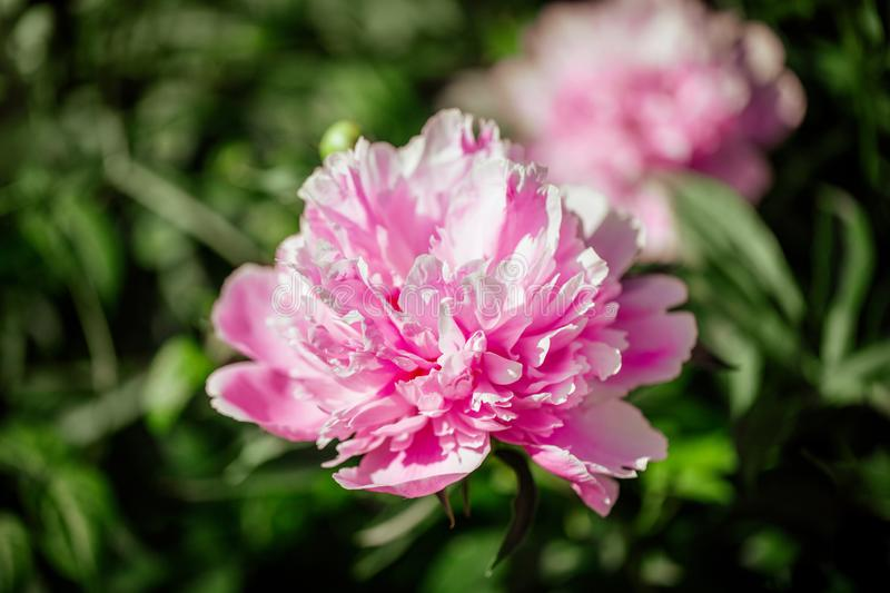 Pink peony flower close up. Lush beautiful peony on green grass background in garden. Garden flowers. royalty free stock image