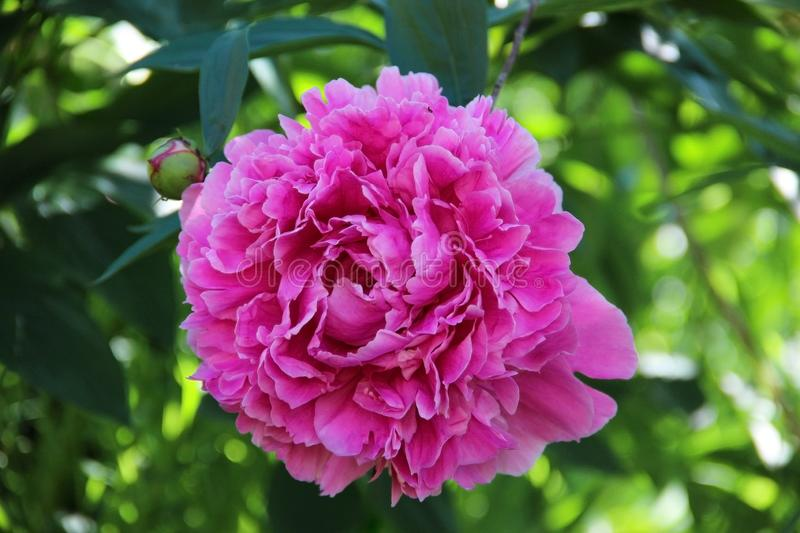 Pink peony flower close up. Lush beautiful peony on green grass background in garden. Garden flowers. royalty free stock photo