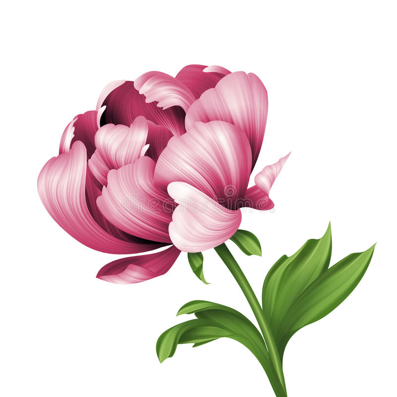 Pink peony flower and green curly leaves illustration, isolated vector illustration