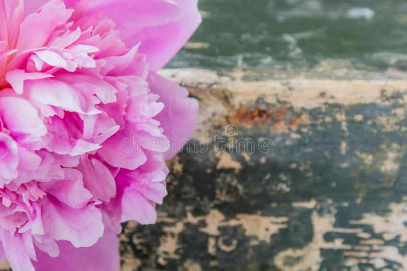 Pink peony flower on grunge green background stock photography