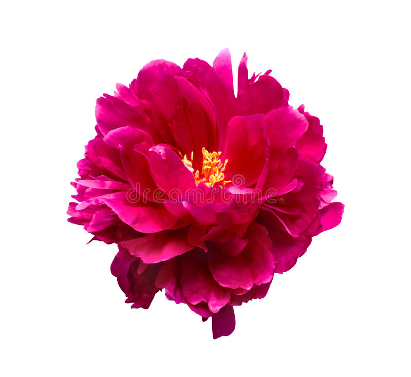 Pink peony flower isolated on white background stock photo