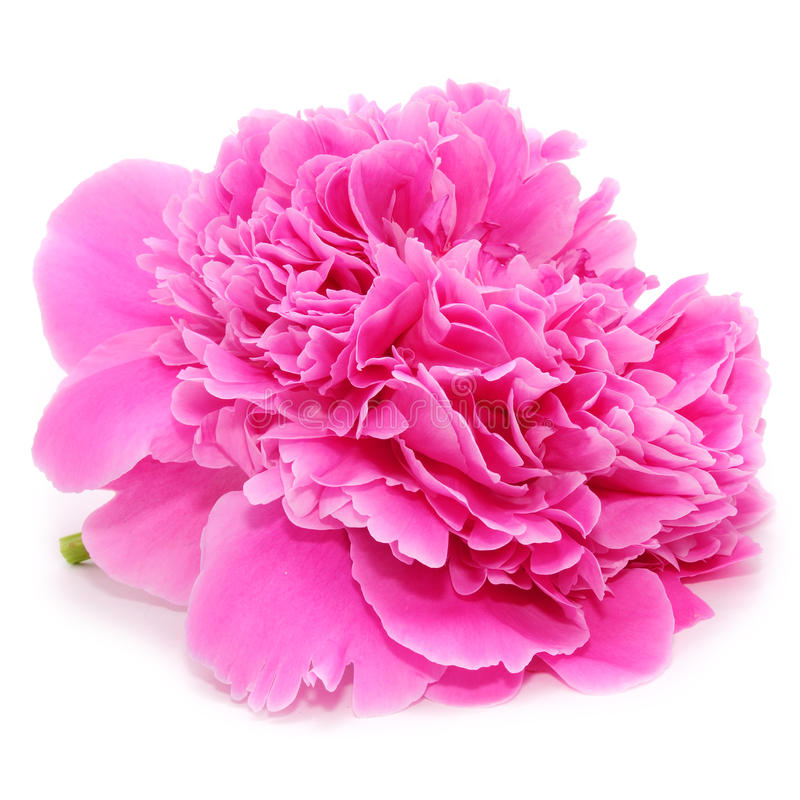 Pink Peony Flower Isolated on White Background. A closeup of a pretty pink peony flower isolated on a white background - square image royalty free stock photography