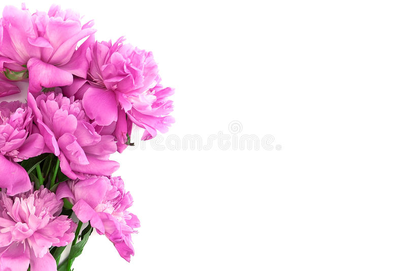 Pink peony flower isolated on white background with copy space f. Or greeting message stock photos