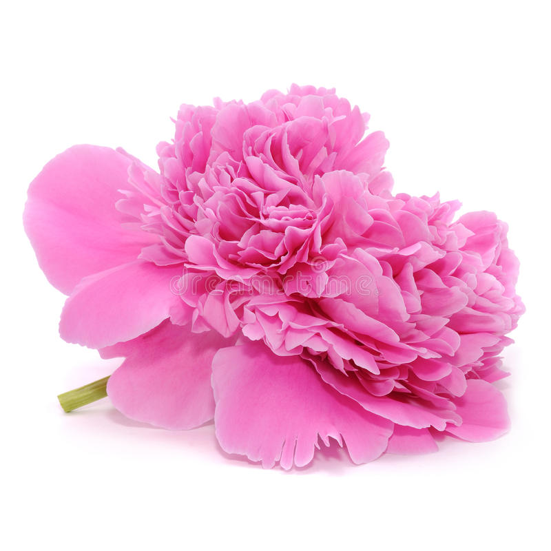 Pink Peony Flower Isolated On White Background Stock Photo