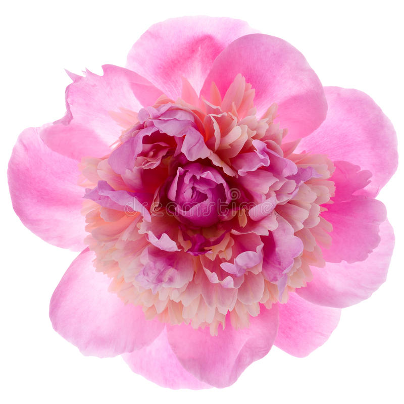 Pink peony flower stock images