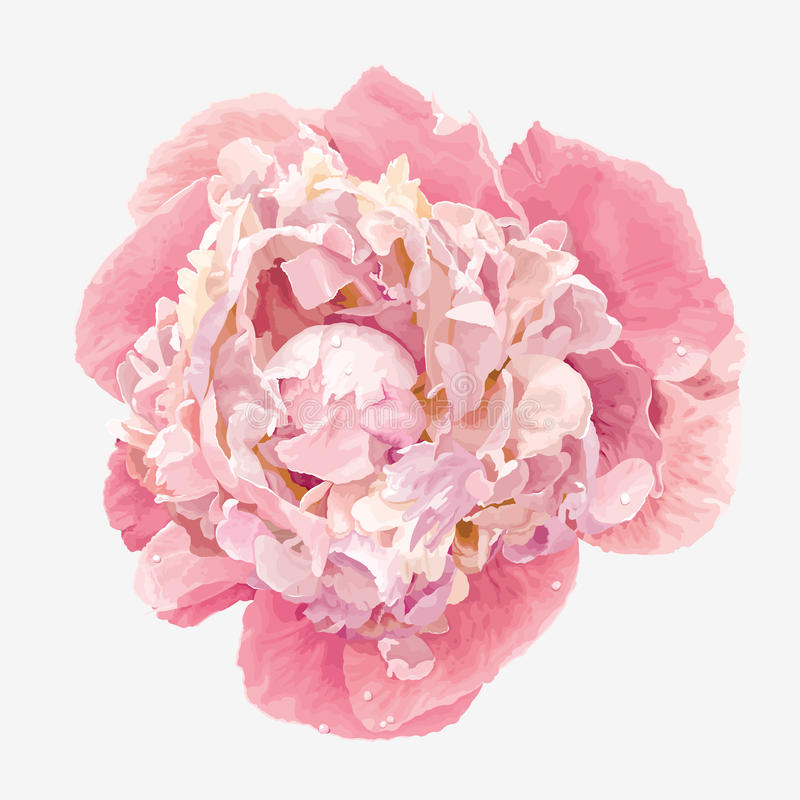 Pink peony flower. Luxurious pink peony flower painted in pastel colors