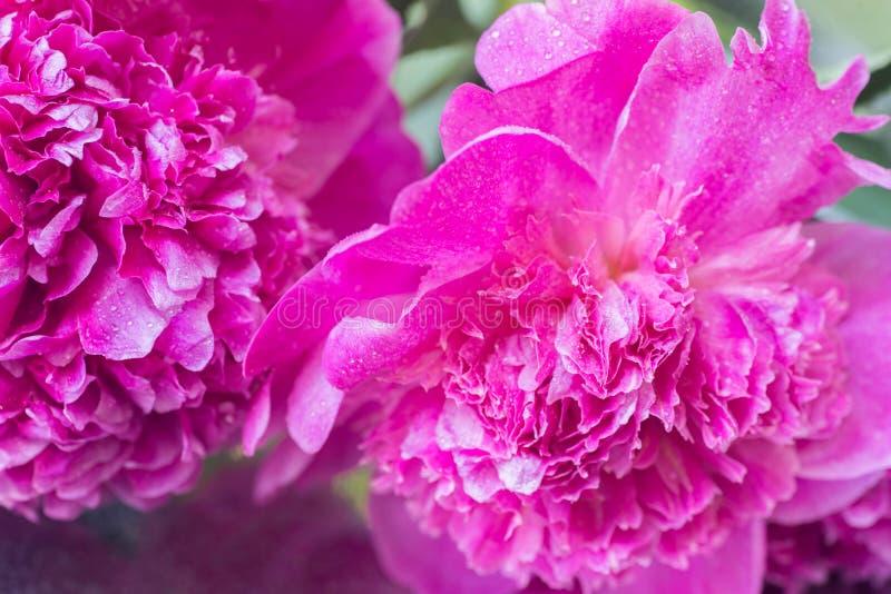 Pink peony flower petals macro selective focus. Pink peony flower petals macro with water drops selective focus royalty free stock image