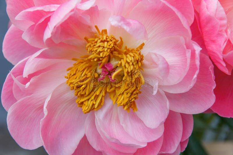 Pink peony flower with stamen. Macro photo. Pink peony flower with yellow stamen closeup. Macro photo stock photo