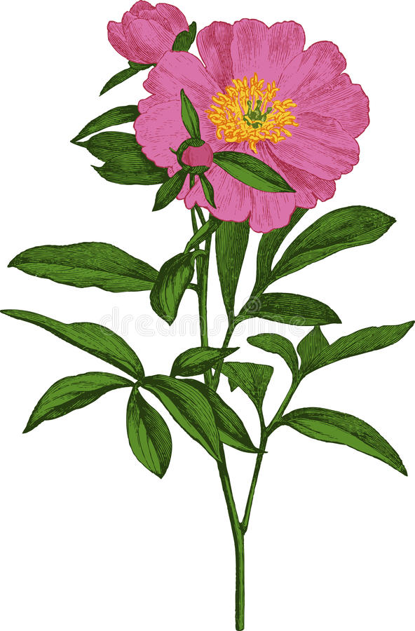 Pink peony flower. Vector royalty free stock image