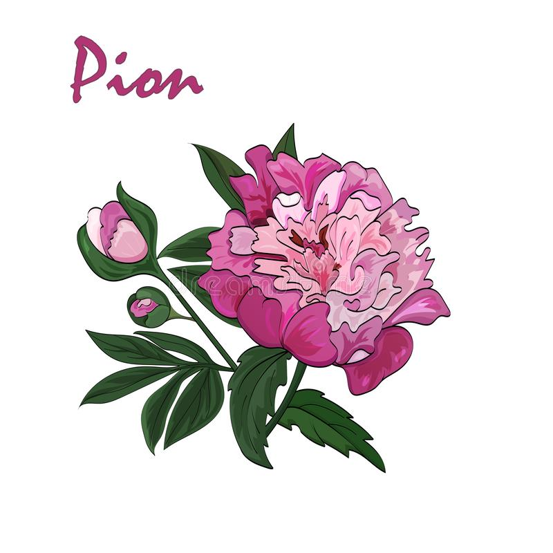 Pink peony flower on white background. Vector. stock illustration