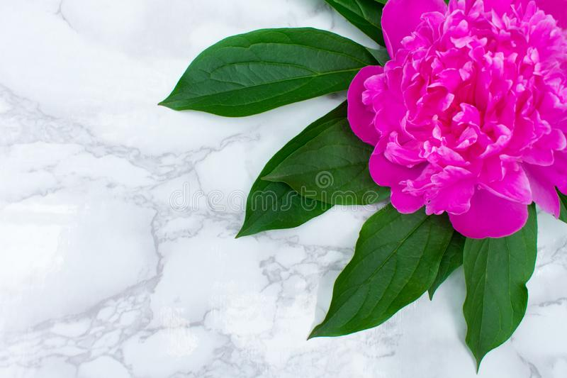 Pink peony flower on white marble tabletop background. Copy space stock images