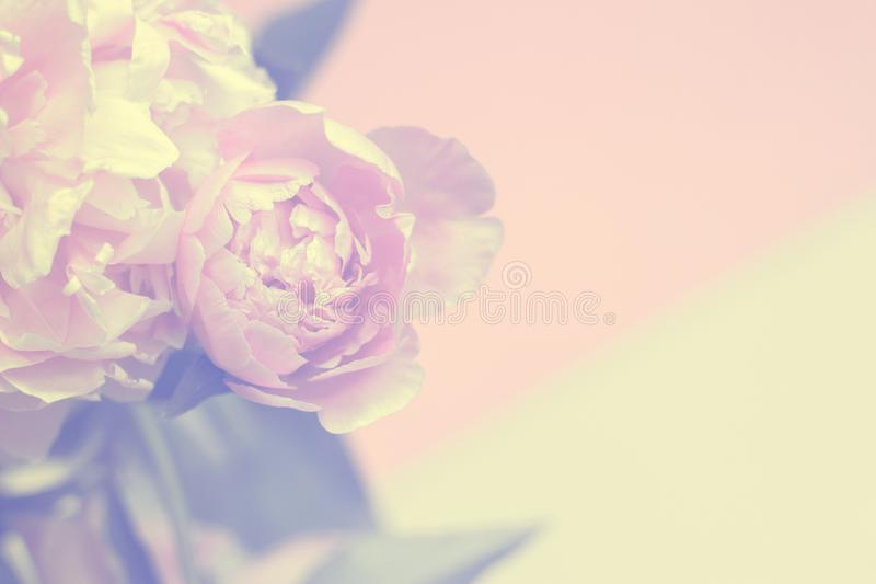 Pink peony flowers background with white frame; floral background or gift card stock photography