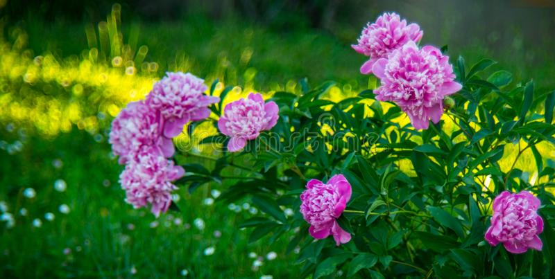 Pink peony flowers royalty free stock image