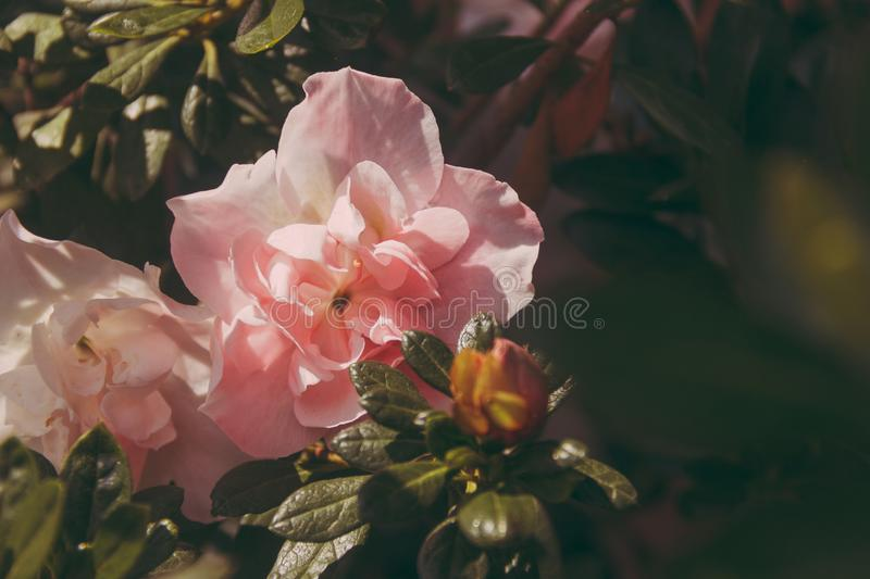 Pink Peony Flowers in Bloom at Daytime royalty free stock images