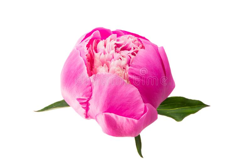 pink peony isolated royalty free stock image