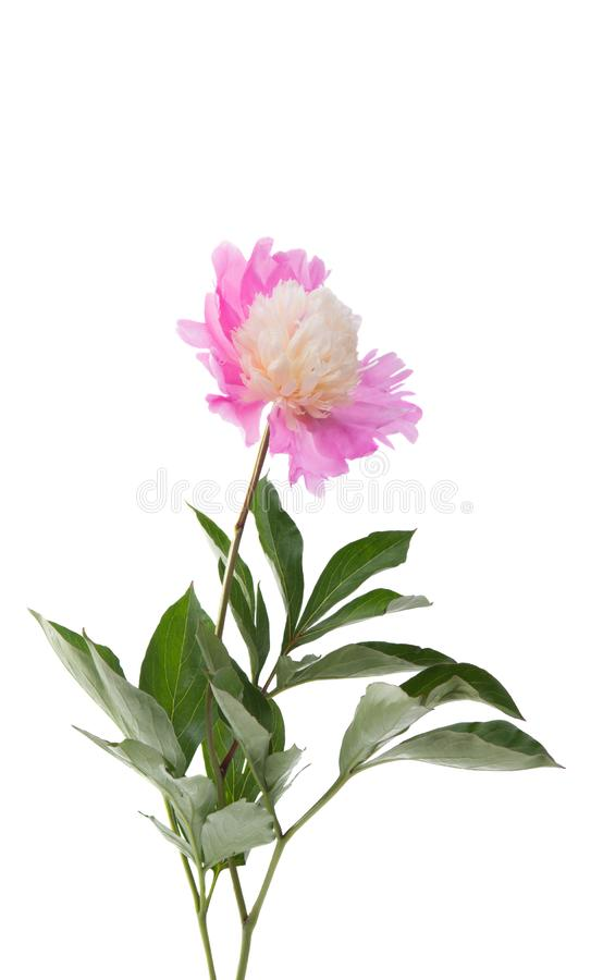 pink peony isolated stock image