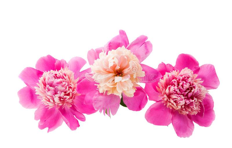 pink peony isolated royalty free stock images