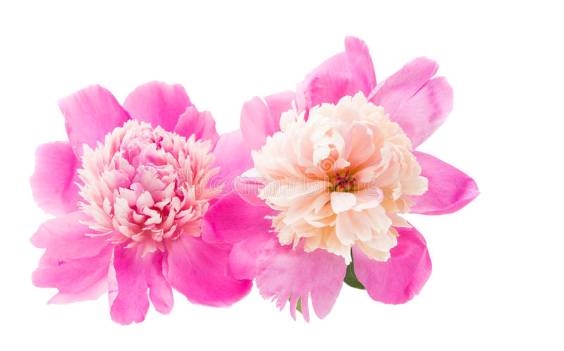 pink peony isolated stock images