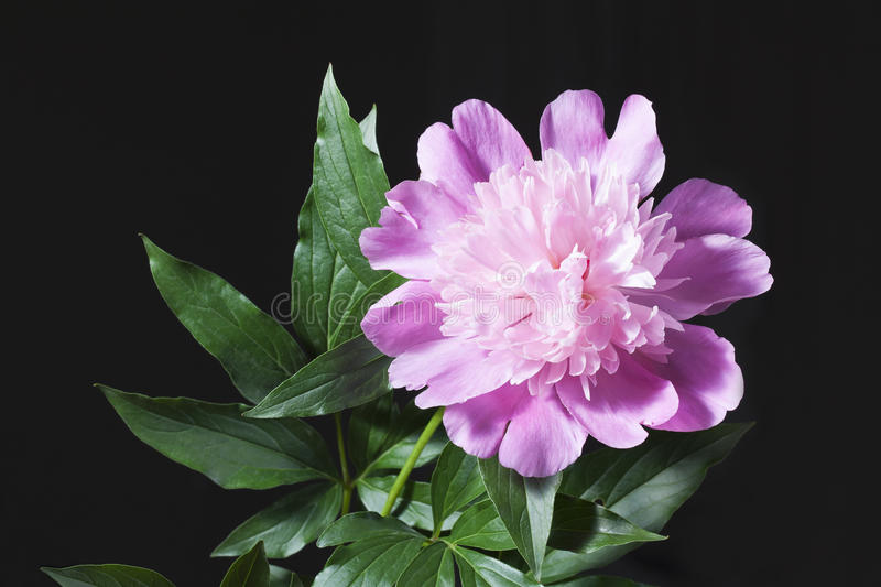 Pink peony with leaves in a black background. royalty free stock image