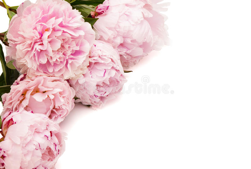 The pink peony royalty free stock photo