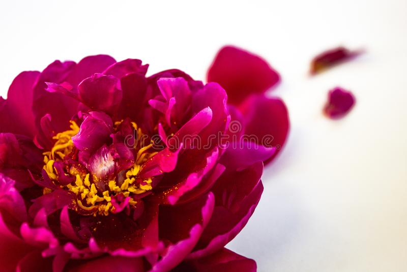 Pink peony on a white background, closeup stock photo