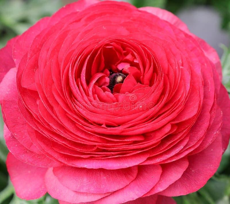 Pink persian buttercup flower or Ranunculus asiaticus, close-up. Pink persian buttercup flower or Ranunculus asiaticus. Close-up stock photo