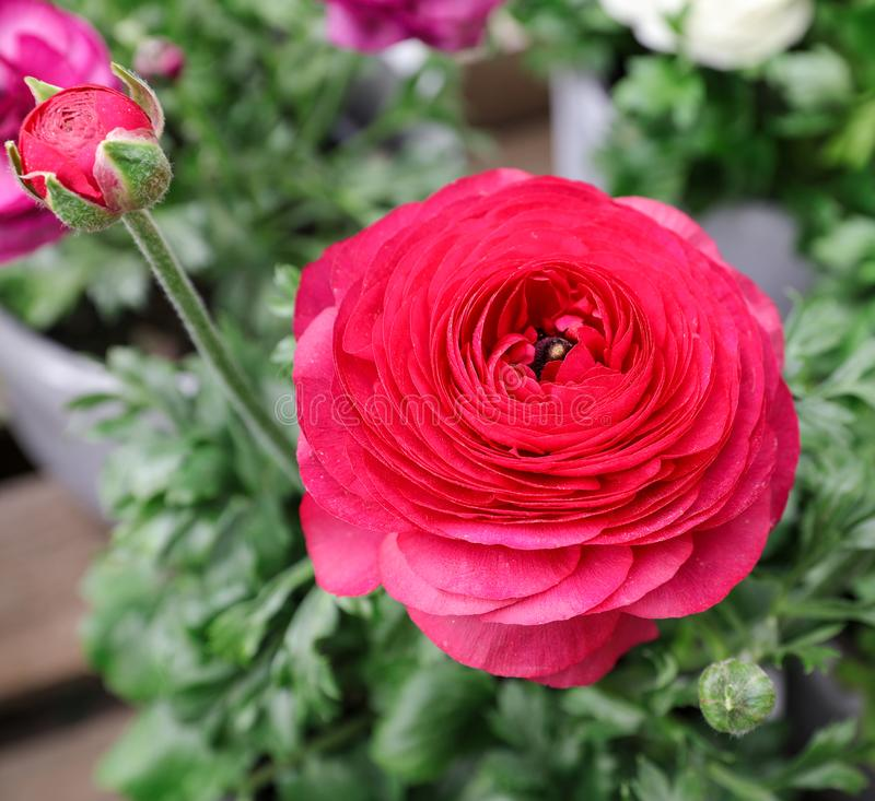 Pink persian buttercup flower or Ranunculus asiaticus, close-up. Pink persian buttercup flower or Ranunculus asiaticus. Close-up royalty free stock photo