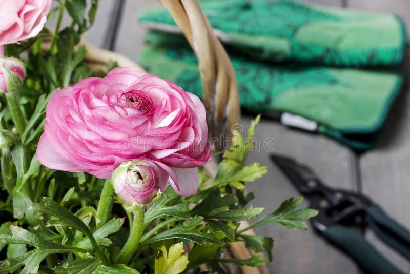 Pink persian buttercup flowers. Wicker basket of pink persian buttercup flowers. Florist wirkshop stock photo