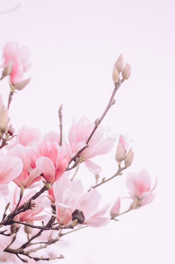 Pink Petal Flower Blooming Tree Detail Branch. With smooth pink sky stock image