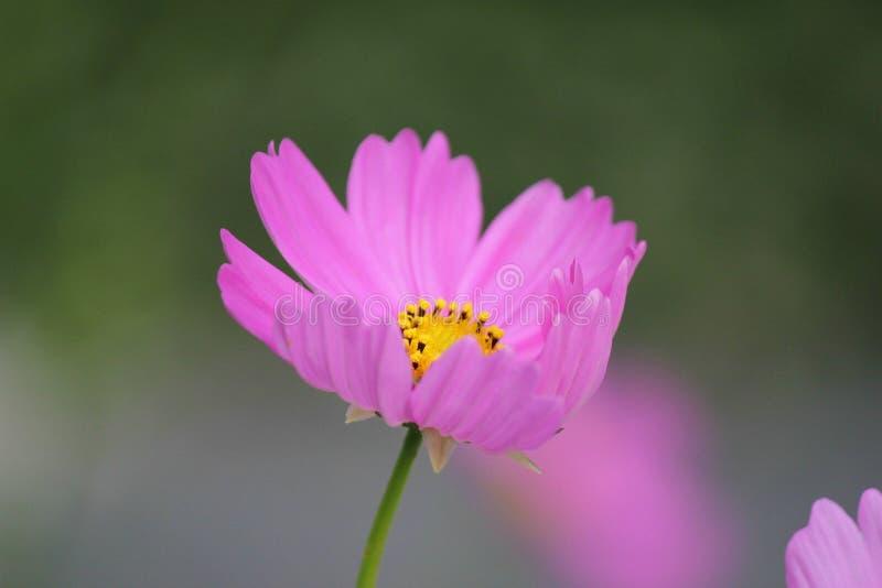 Pink Petaled Flower Free Public Domain Cc0 Image