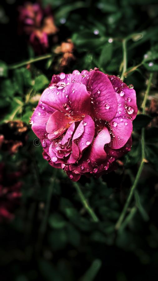 Pink Petaled Flower in Close-up Photography royalty free stock image