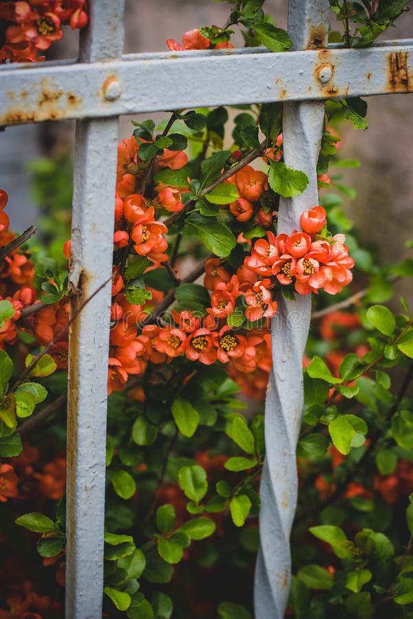 Pink Petaled Flowers Behind White Metal Fence stock photography