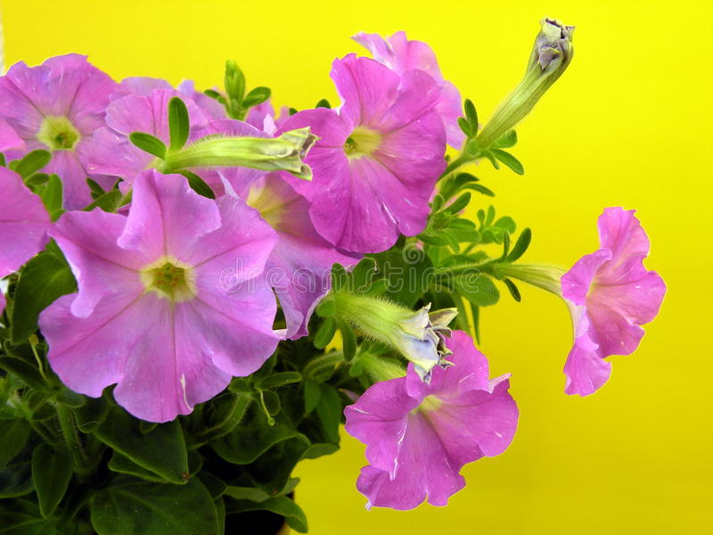 Download Pink petunia stock image. Image of leaves, flower, leaf - 29448443
