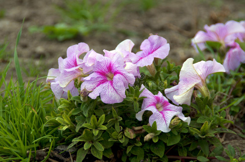 Pink petunia flower. Plants in the garden royalty free stock photo