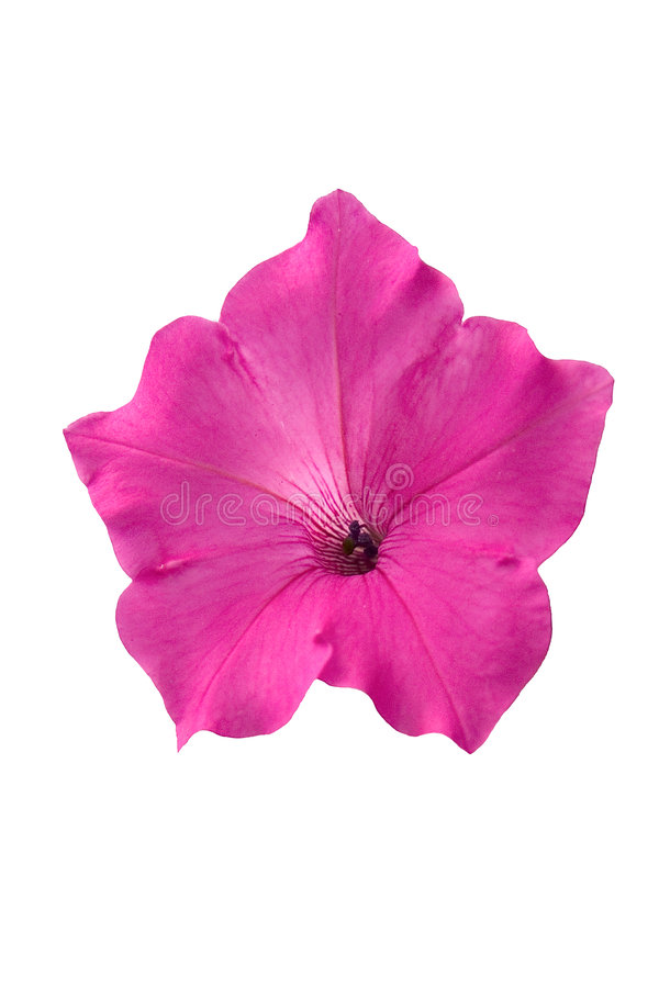 Download Pink petunia flower stock photo. Image of plant, petunia - 5874456