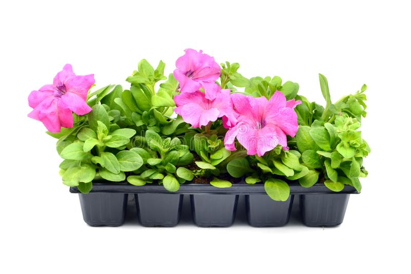 Pink Petunia flower tray box on white isolated background royalty free stock image