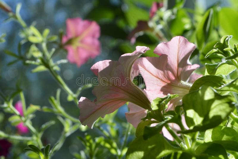 Pink petunia flowers on blurred background. Balcony greening.  stock images