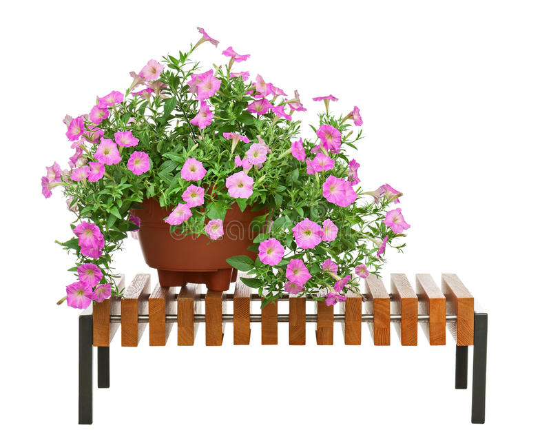 Pink petunia flowers in flowerpot on wooden bench isolated on white background. royalty free stock image