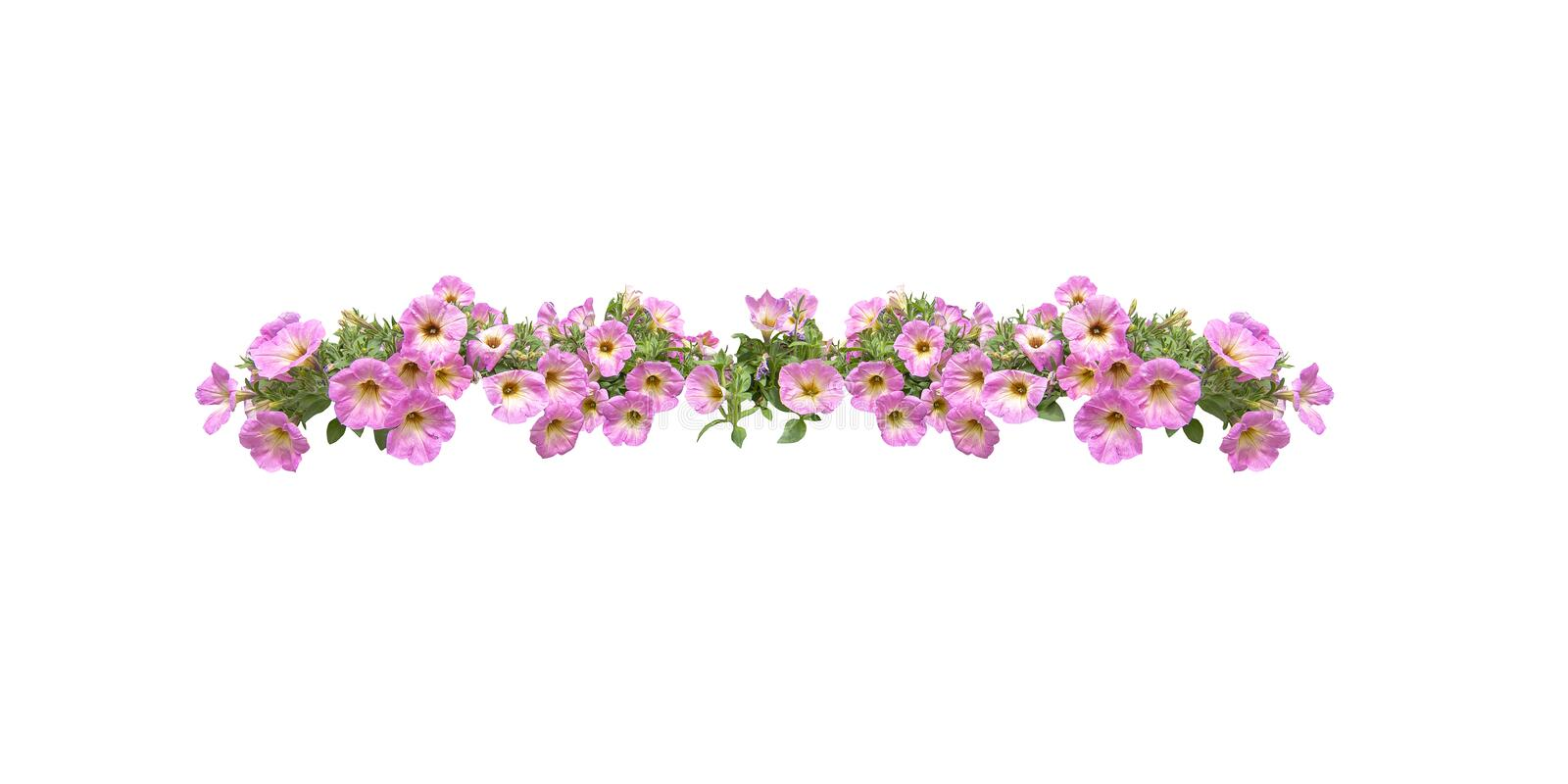 Pink petunia flowers string margin element isolated royalty free stock images