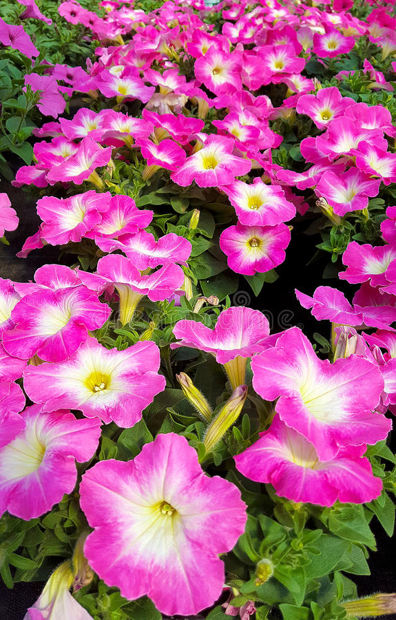 Pink petunia plants in garden stock photos