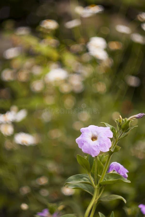 Pink petunia stock photos
